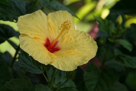 hibiscus-yellow