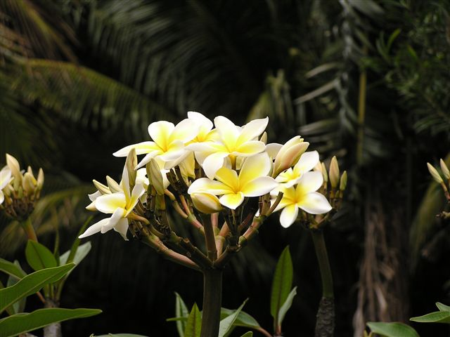 Bunch of Plumerias