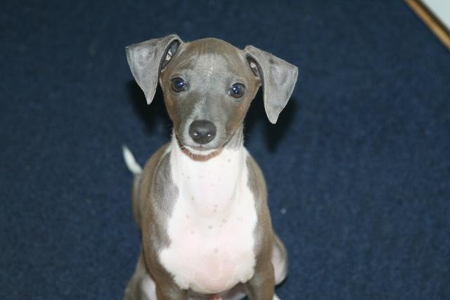 cutest-italian-greyhound