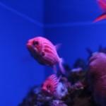 pink-fish
