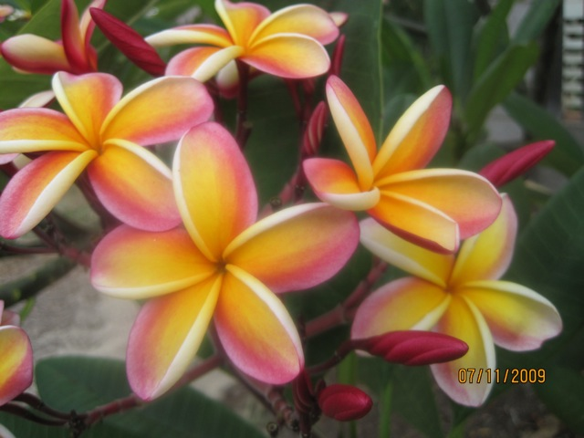 Yellow and Pink Plumeria