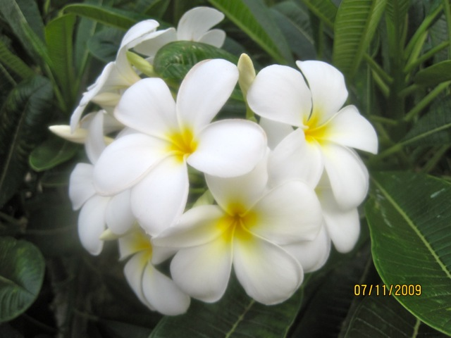 White Plumeria (Most Common)