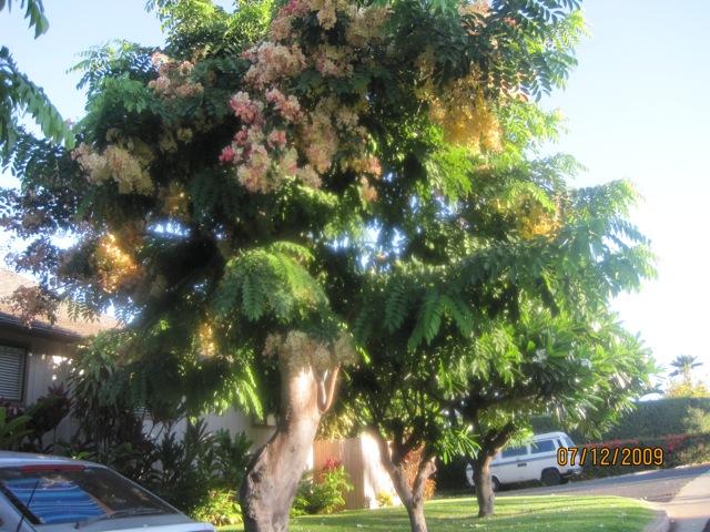 Rainbow Shower Tree