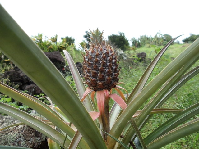 Pineapple on the way to Hana