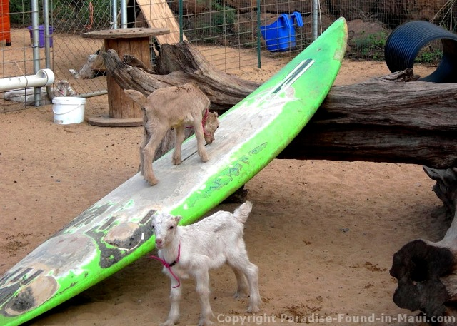 Surfing goat dairy coupons