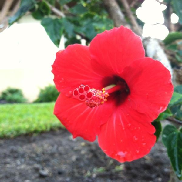 Bright Red Hibiscus