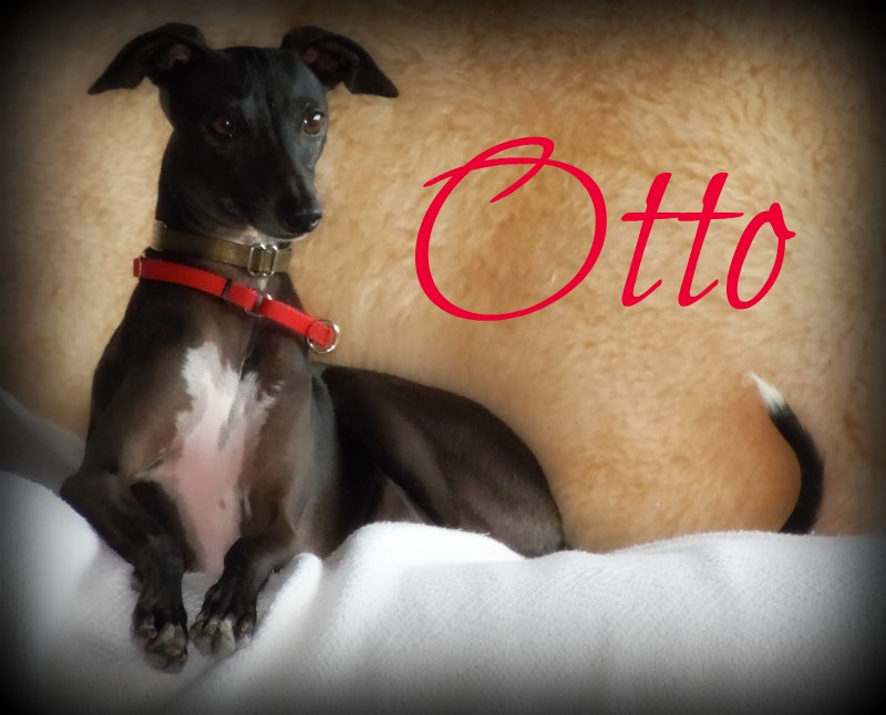 Italian Greyhound Rescue Hawaii