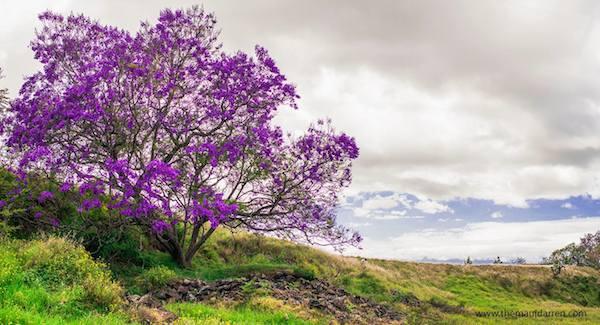 Jacaranda Tree Upcountry Maui 12