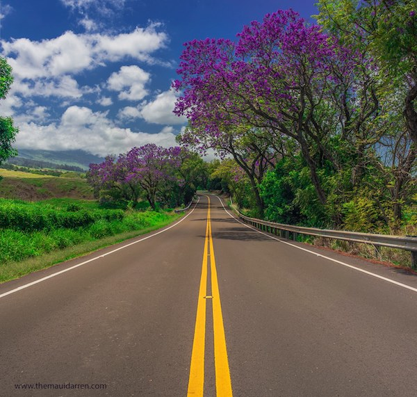 Jacaranda Tree Upcountry Maui 19
