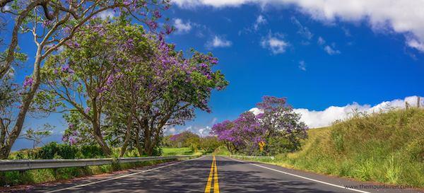 Jacaranda Tree Upcountry Maui 2