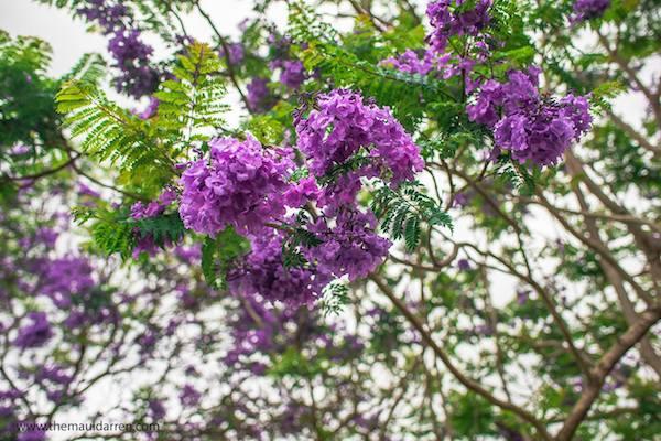 Jacaranda Tree Upcountry Maui 3