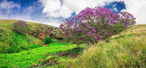 Jacaranda Tree Upcountry Maui 9
