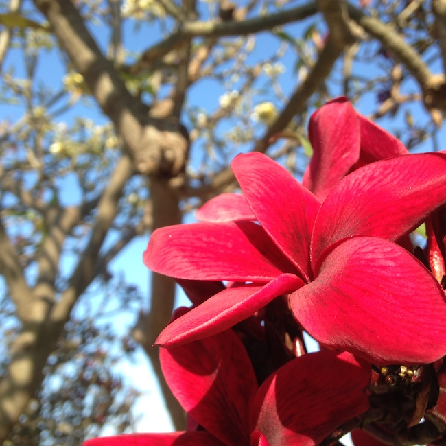 Deep Red Plumeria on Maui