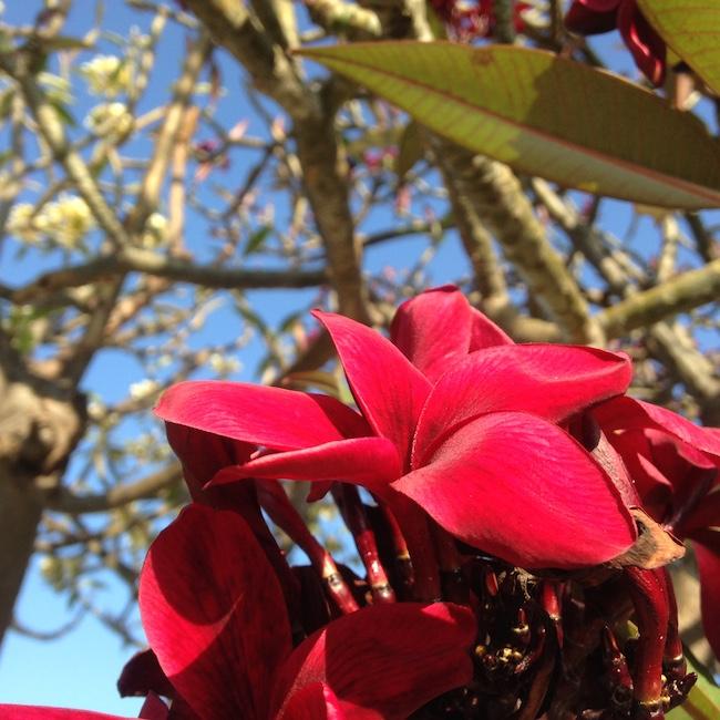 Maroon Plumeria on Maui
