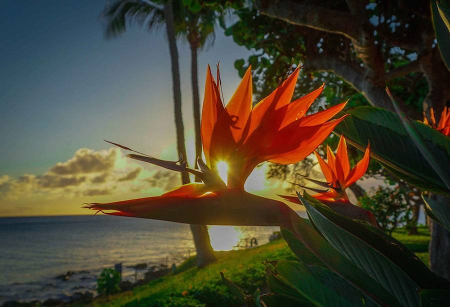 Bird of Paradise and Maui Sunset 4