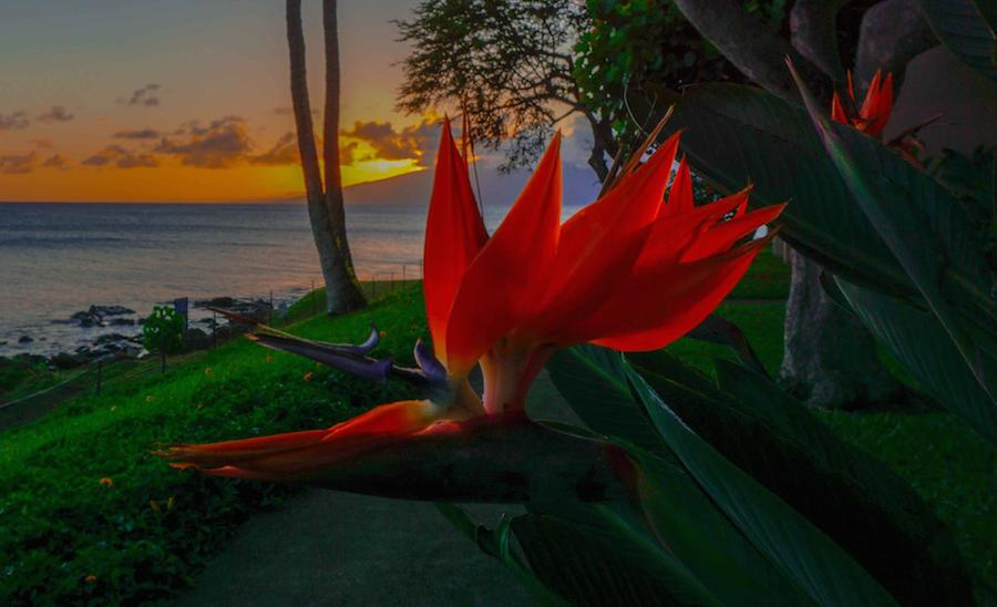 Bird of Paradise and Maui Sunset