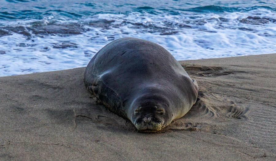 Hawaiian Monk Seal Bazza Duck