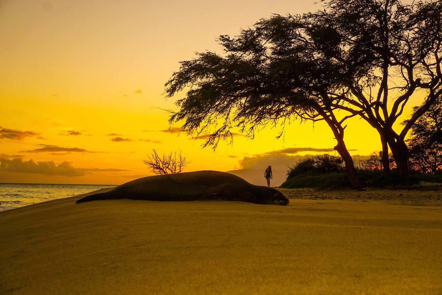 Hawaiian Monk Seal & Sunset