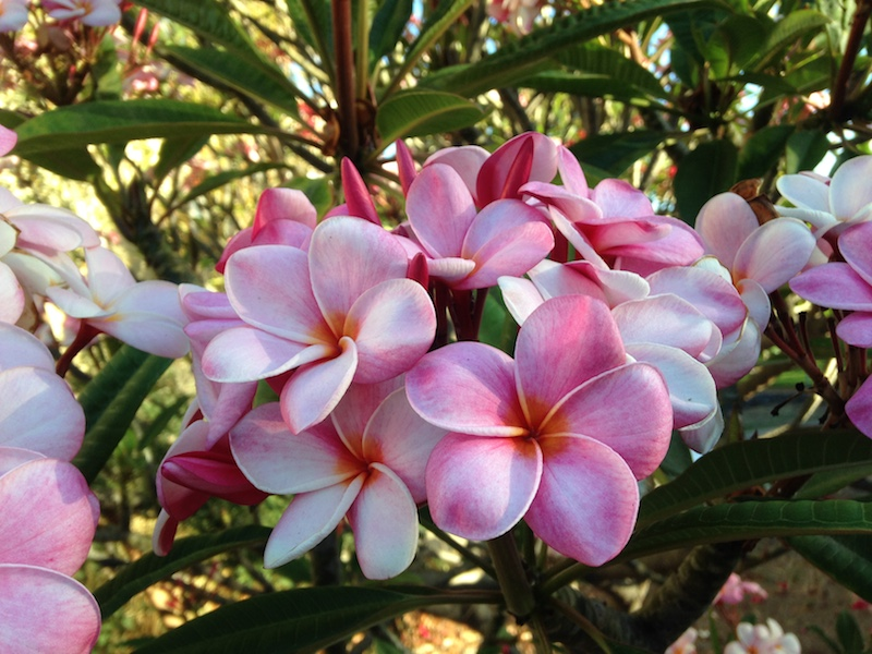 Pretty Pink Plumerias on Maui Hawaii