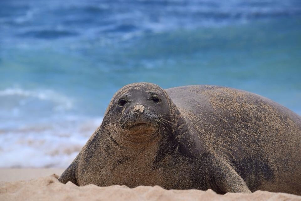 MONK SEAL BY ALEXANDR LAUDET