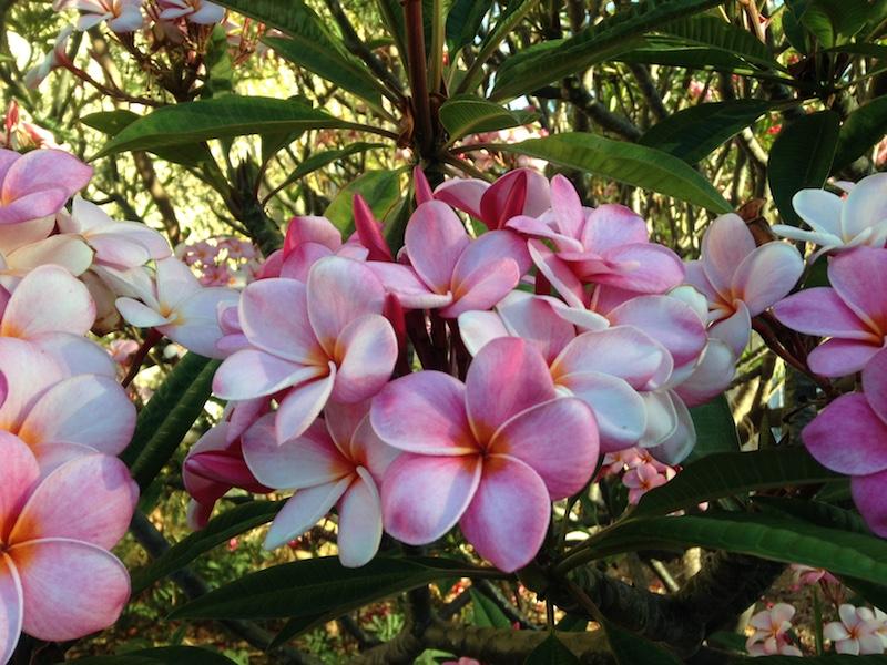 Pink Plumerias on Maui