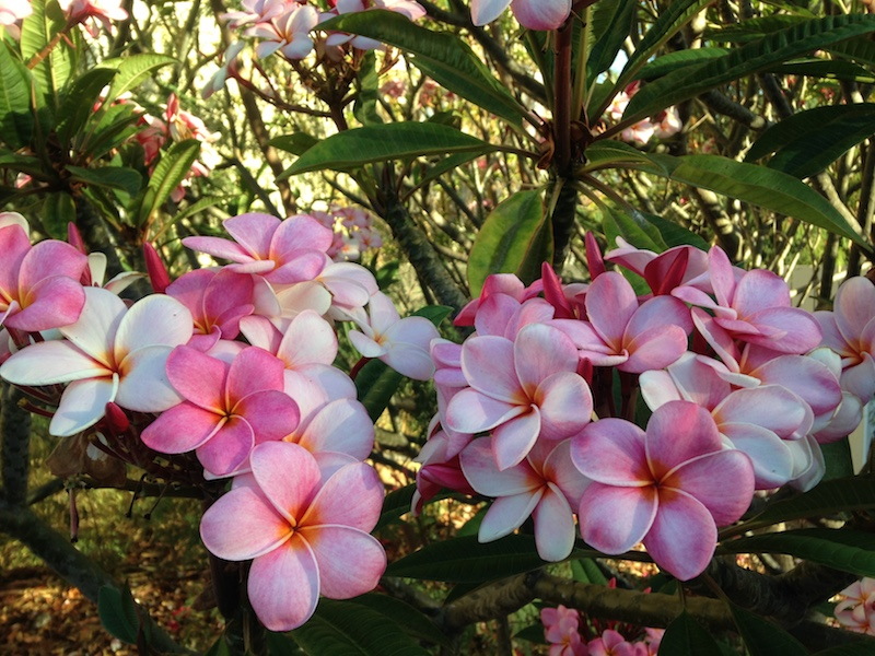Pretty Pink Plumerias on Maui