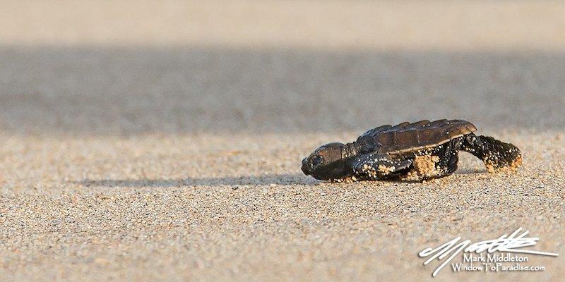 Baby Hawksbill Turtle 1