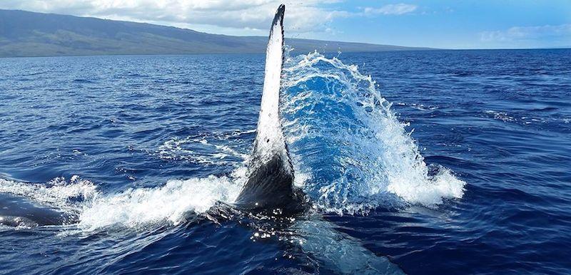 Humpback Whale on Maui Fin