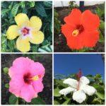 hibiscus-collage