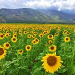 maui-sunflowers