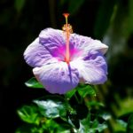Purple Hibiscus on Maui